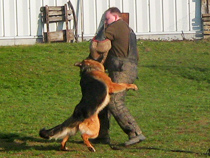 Preotection Dog Training for the Sieger Show in Germany