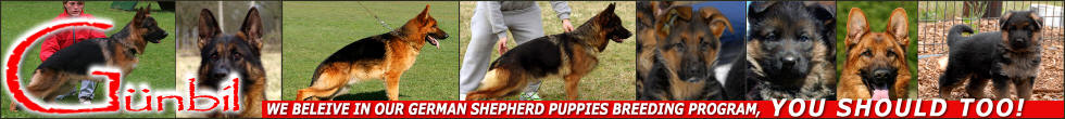 Welcome to world class German Shepherd Dogs