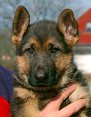 German Shepherd puppy - Dux and Isa litter