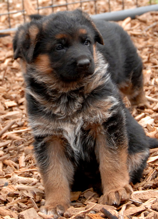 German shepherd puppies from the litter of Ino and Senta 2008