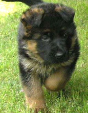 Gunbil German Shepherd puppy: Quax