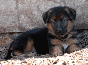 German shepherd puppies from the litter of Ino and Windy 2008