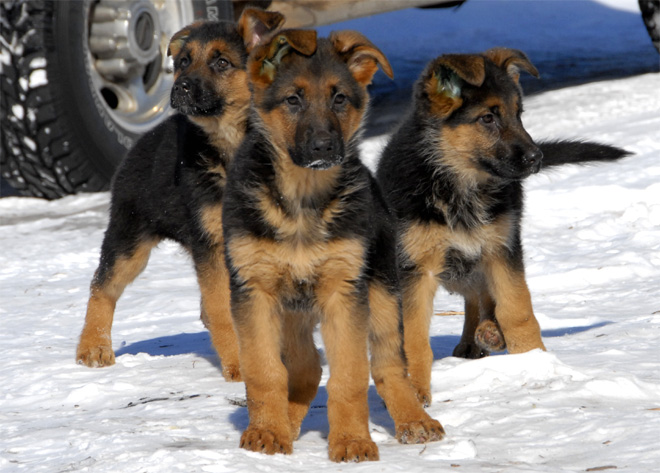 how big will my german shepherd puppy get