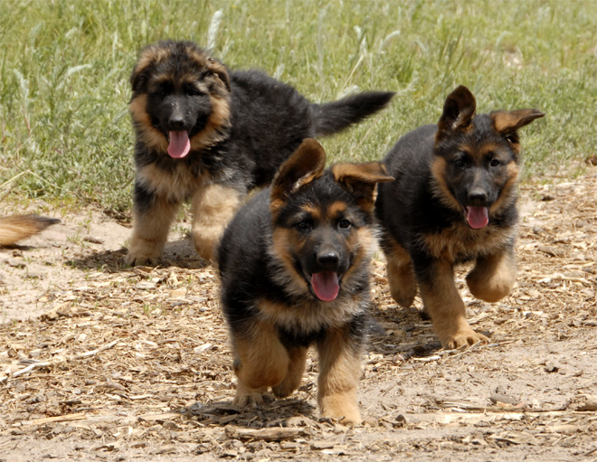 German Shepherd Dogs and Puppies Photo Gallery