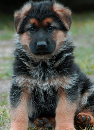 German Shepherd Puppies on Sale German Shepherd Puppies For Sale German Shepherd Import Puppies