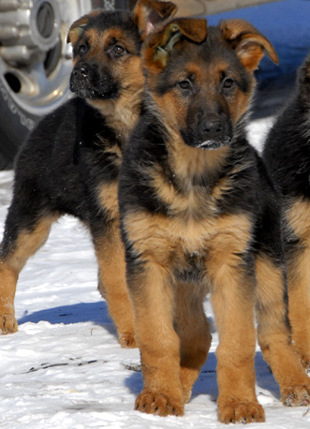 Short Hair German Shepherd. Your German Shepherd Puppy