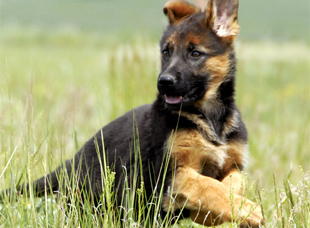 Gunbil German shepherd puppy in motion