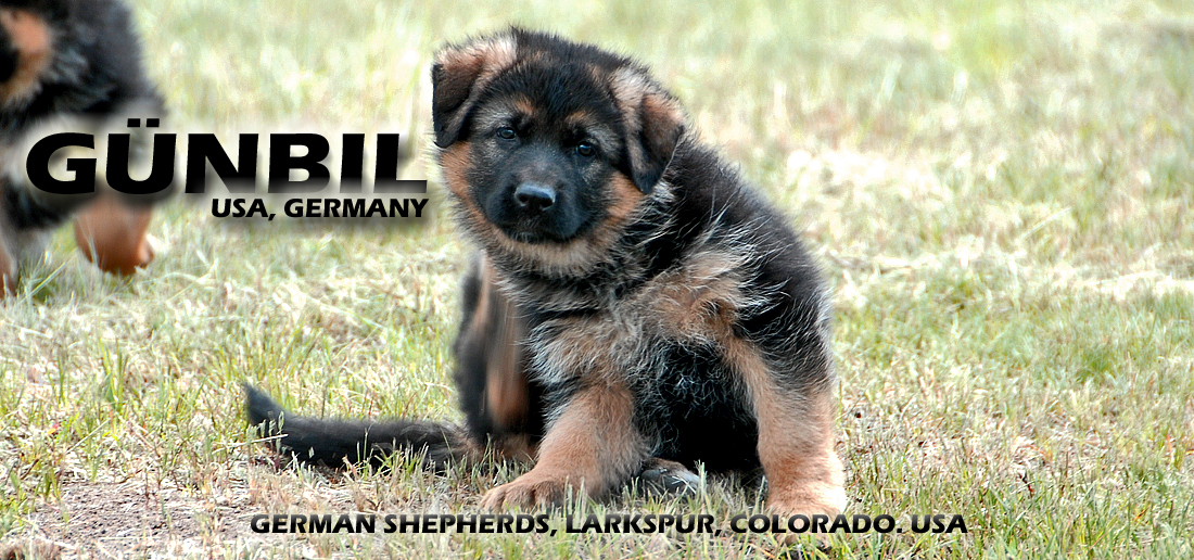 Gunbil German Shepherds, worldwide!