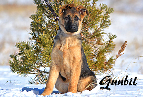 German shepherd puppies for sale - Amira