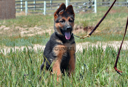 German shepherd puppies for sale - Andy
