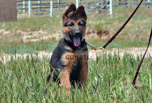 Gunbil - Trained puppies for sale Andy