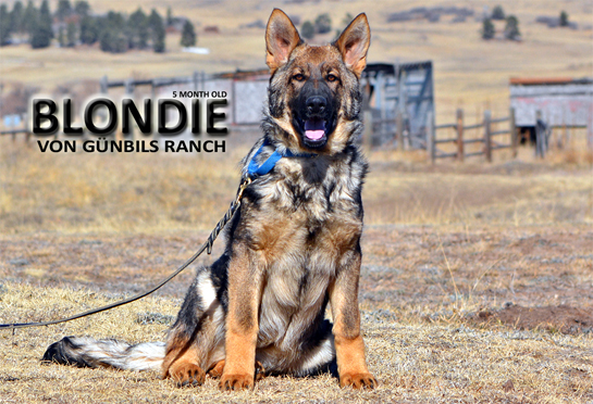 Blondie von Gunbils Ranch