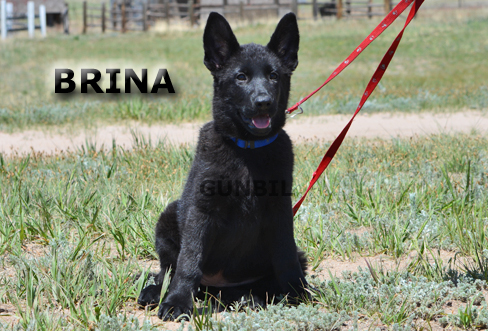 Gunbil - Trained puppies for sale Brina