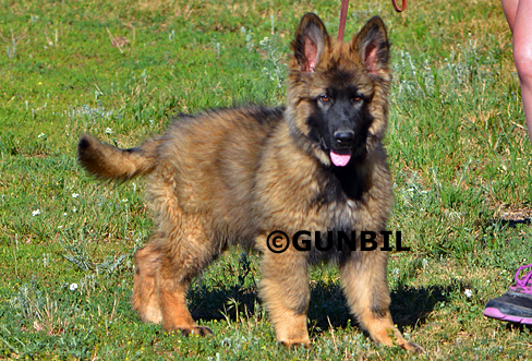 Gunbil - Trained puppies for sale Ceasar