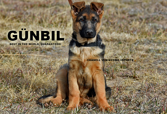 Chanell von Gunbil Imports - Trained German shepherd puppies for sale