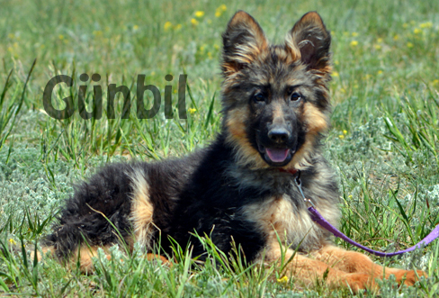 Gunbil - Trained puppies for sale Charlie