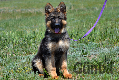 German shepherd puppies for sale - Charlie