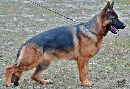 German shepherd import puppies from Germany