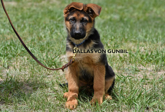 World-class trained german shepherd puppies for sale