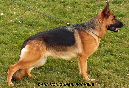 Dana (German shepherd puppies for sale)