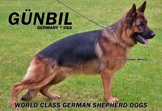 Father: Diego von Gunbil Imports (Colorado puppy breeding stud)