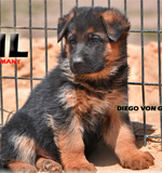 German Shepherd anatomy, superior temperament and natural working ability and German Shepherd health genetic value is present in our German shepherd puppies