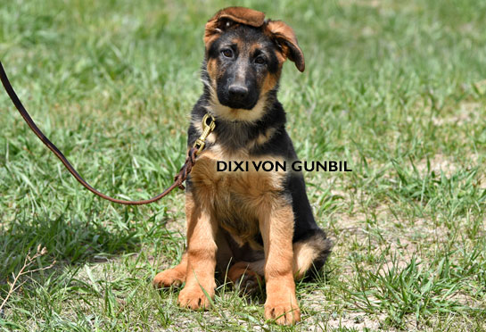 World class trained german shepherd puppies for sale