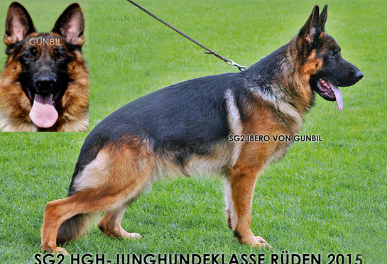 Father: Ibero von Team Gunbil (puppies bred in Colorado)