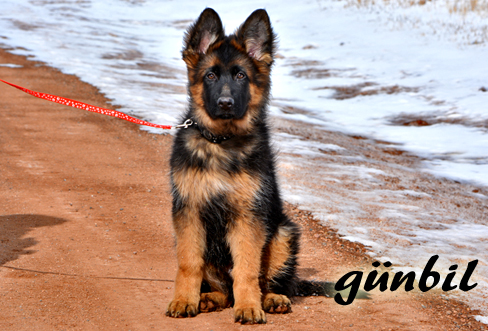 German shepherd puppies for sale - Iloy