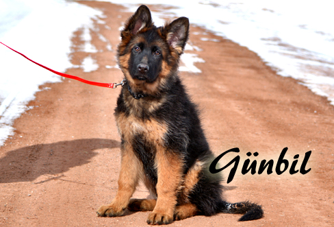 Gunbil - Trained puppies for sale Iloy