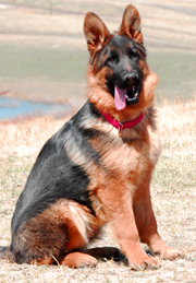 German shepherd breeder