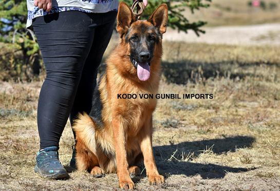 Kodo - Trained dog for sale