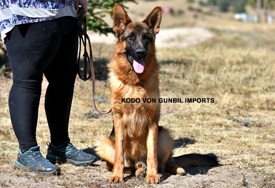 Kodo - Trained dogs for sale