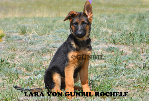 German shepherd puppies for sale - Lara