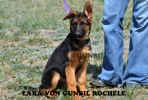 Gunbil - Trained puppies for sale Lara