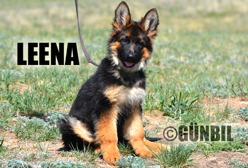 German shepherd puppies for sale - Leena
