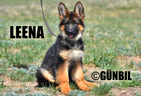 Gunbil - Trained puppies for sale Leena