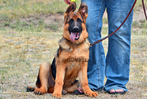 Trained German shepherd puppies for sale - Marley