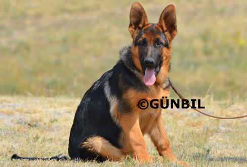 Trained German shepherd puppies for sale - Mike