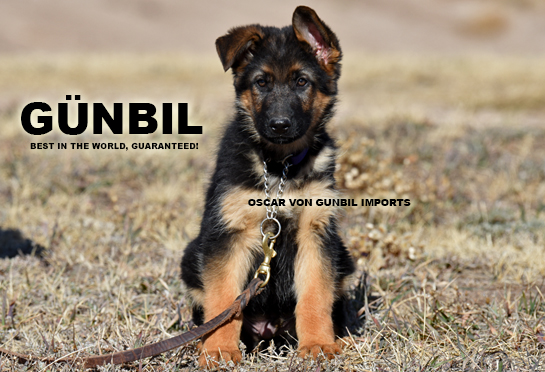 Trained German Shepherd Puppies For Sale