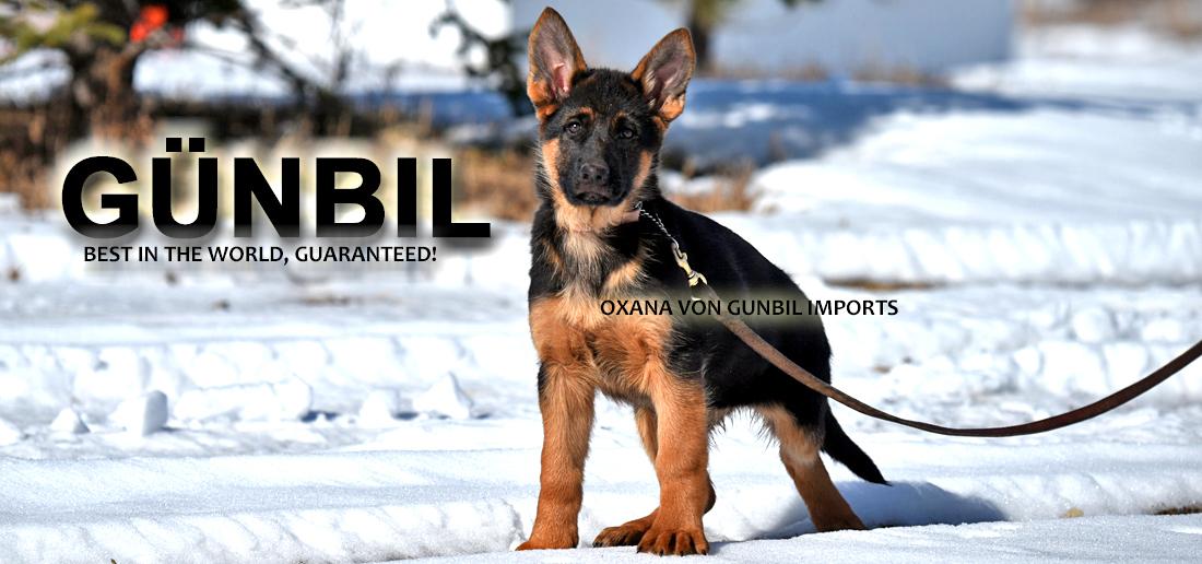 German Shepherd Import Puppies