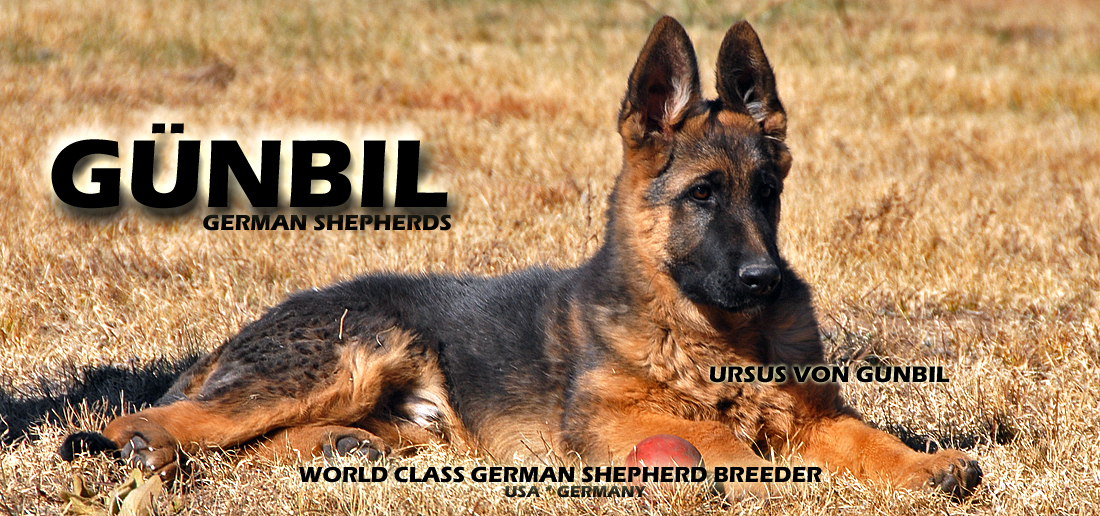 World Class German Shepherds - Ursus von Gunbil
