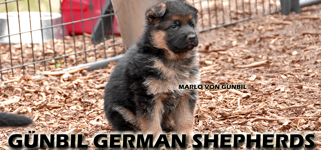 Gunbil German Shepherd Future Breeding Program