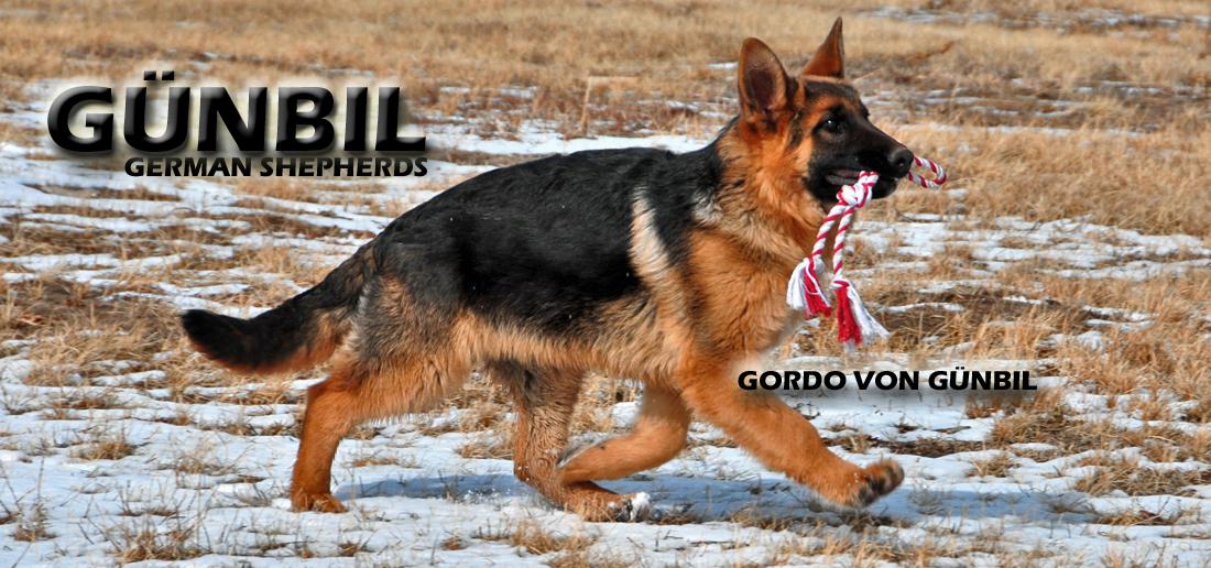 Weaning Our German Shepherd Puppies