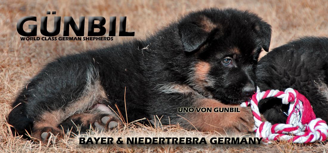 Gunbil german shepherd germany