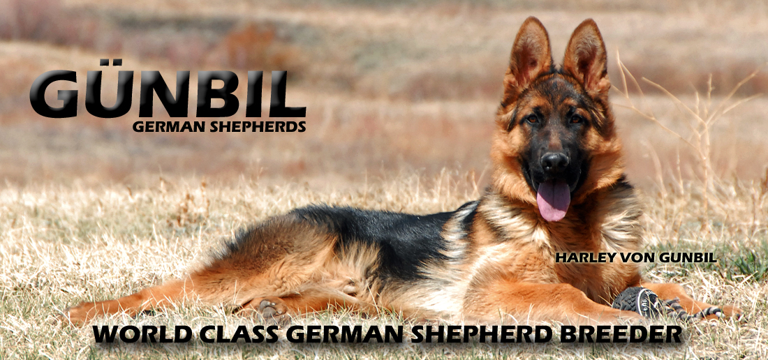 World class German Shepherds