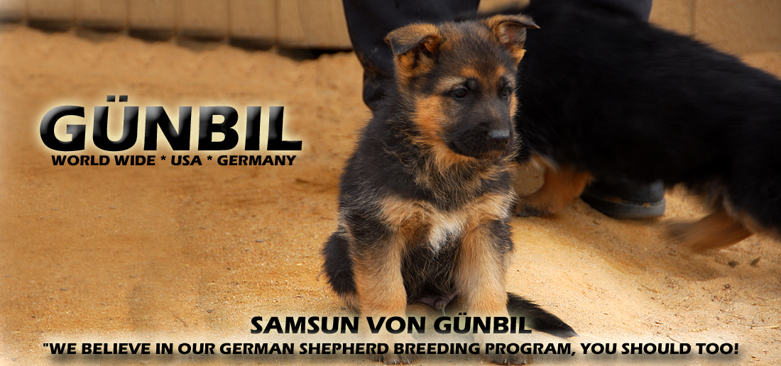 German shepherd puppies for your family