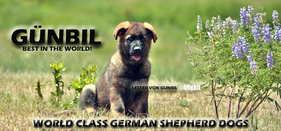 German shepherd Import Puppies