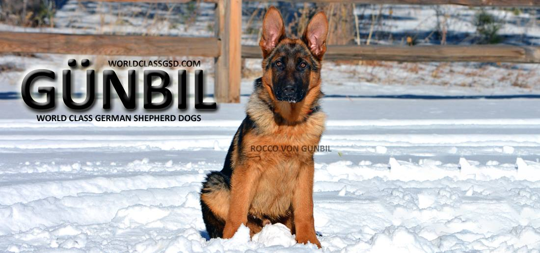 German Shepherd Breeders in Larkspur, Colorado.