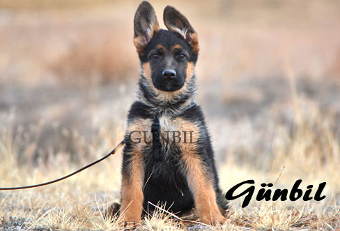 German shepherd puppies for sale - Pacco